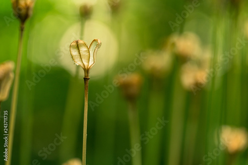 Grass seed pod macro close up with a bokeh background
