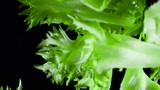 Crispy Lettuce Leaves. Whole fresh lettuce leaves enters the frame from the darkness. Filmed at a speed of 480fps - 243713770