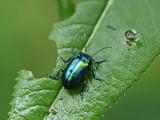 Grüner Sauerampferkäfer auf Sauerampferpflanze