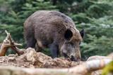 Fototapeta Forest - Dzik szukający jedzenia w lesie. © Boguslaw