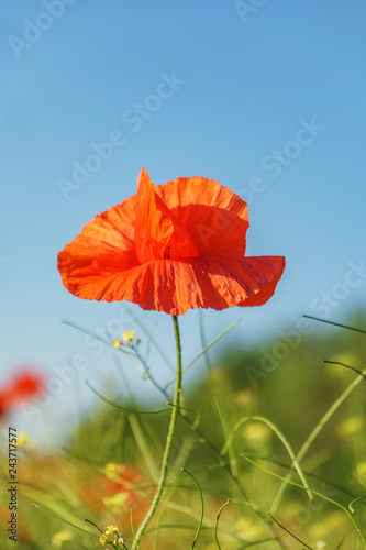 Poppy field. Wild poppy, red poppy. Unusual flowers. Red poppy flowers in the field. - 243717577