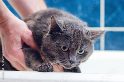 Bathing a gray cat in the bathroom