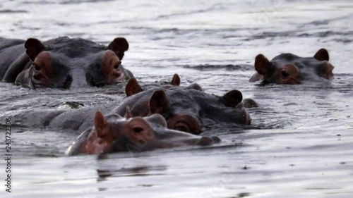 A group of Hippos swimming in the river Quando in north-east  Namibia
