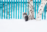 cute  cat sits on a birch tree in a snowy winter garden and looks straight down at the fur