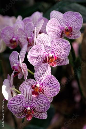 wild pink stripe orchid - 243723537