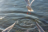 River gull (Chroicocephalus ridibundus) over two wings in the clean blue waters of Ohrid Lake. Macedonia.