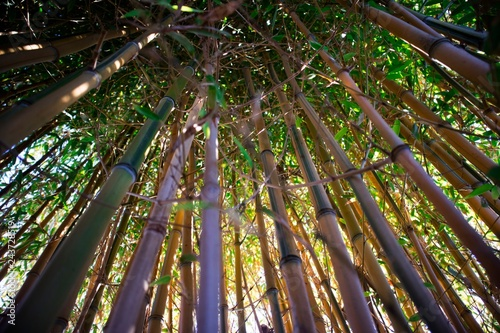 Wall mural Yellow bamboo cane