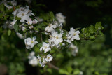 Blooming apple tree in the rays of sunlight.