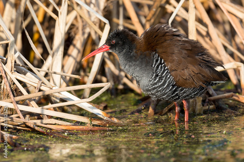 Fluffy African rail sitting in dry reeds to warm in a morning sun