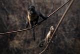 Mono Capuchino en el Zoo  - 243737536