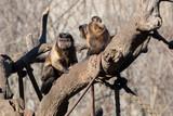 Mono Capuchino en el Zoo  - 243737553