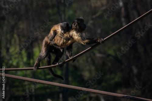 Poster Mono Capuchino en el Zoo