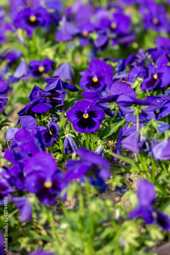 Purple garden pansy at springtime in the garden - 243744966
