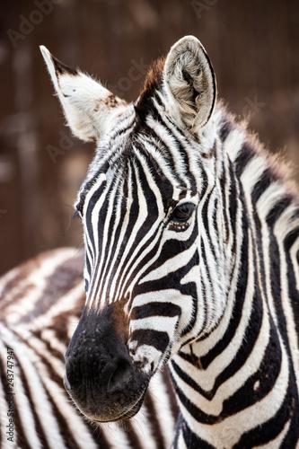 close up of zebra - 243747947