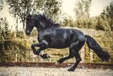 Friesian horse running - 243748955