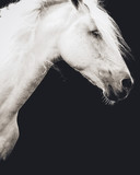 Fototapeta Konie - Andalusian stallion with black background © Luckyshots