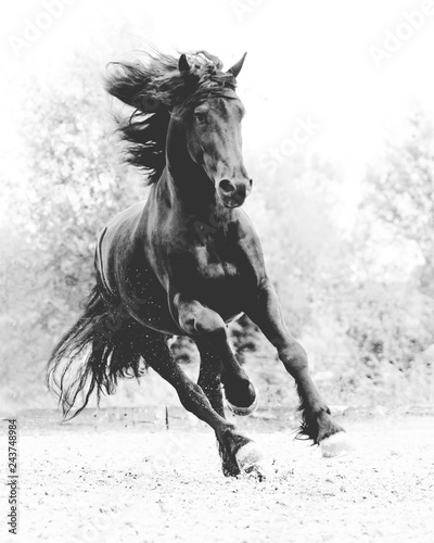 Friesian horse black and white © Luckyshots