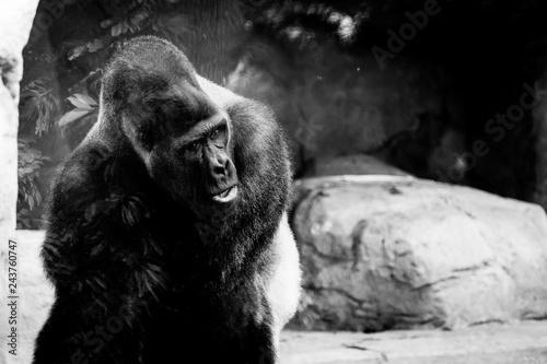 Gorille des plaines, male dominant