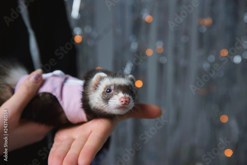 The ferret plays on a festive background and hides in the hood