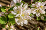 Flowering branch of apple-tree on blurred background, close-up