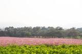 Fototapeta Fototapety kosmos - cosmos pink color flowers © Sutthituch