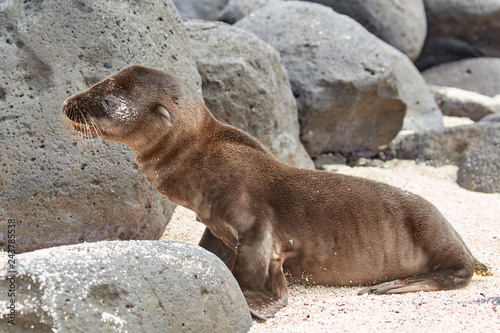 Sea Lion Pup on Beach with Rocks
