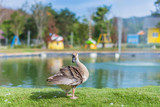 Goose in the zoo - 243786564
