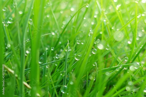 fototapeta na ścianę green spring grass background.green grass in drops of dew in the rays of the morning sun.natural background