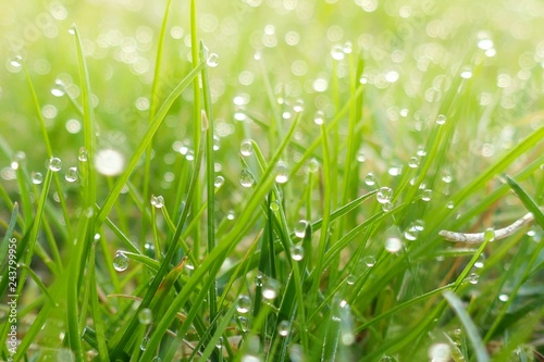 green spring grass background.green grass in drops of dew in the rays of the  sun.natural plant background