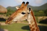 giraffe - 243802107
