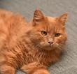 Leinwandbild Motiv red cat lying