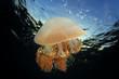 Quadro Jellyfish