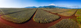 Panorama of the pinapple plantation on Hawaii