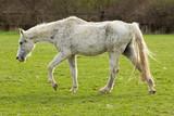 Sehr altes Pferd - 243835141