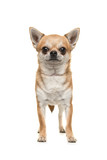 Pretty chihuahua dog standing looking at the camera seen from the front isolated on a white background