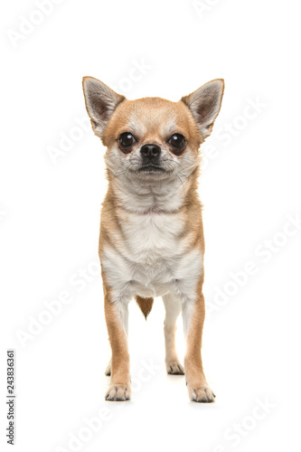 Pretty chihuahua dog standing looking at the camera seen from the front isolated on a white background - 243836361