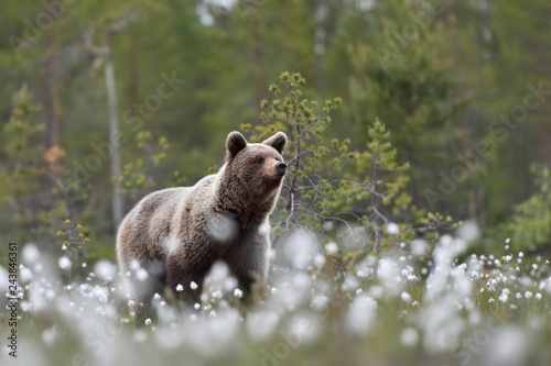 brown bear in summer forest