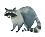 Watercolor illustration on white background. Set of raccoon. Simple sketch of wild animals - 243848339