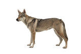 Tamaskan hybrid dog seen from the side isolated on a white background - 243856143