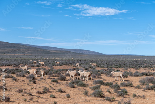 Typical Karoo landscape with sheep grazing near Middelpos