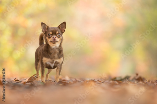 Poster Pretty standing chocolate chihuahua dog seen from the front in a autum forest