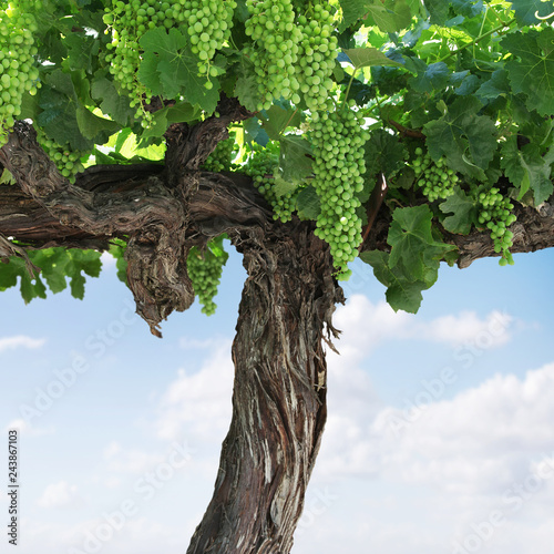 old grape vine close up in summer