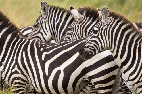 Zebras in the Serengeti - Tanzania - 243869937