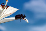 Rhinoceros (unicorn) beetle on a petal of a lily flower, photo with a copy space