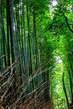 Fototapeta Bambus - Beautiful bright bamboo forest with tall trunks © Анна Демидова