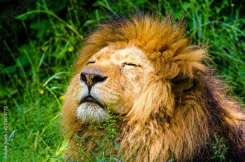 Poster portrait of a lion
