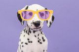 Portrait of a cute dalmatian puppy dog wearing yellow glasses on a purple background