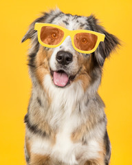 Portrait of a happy smiling australian shepherd dog wearing yellow summer glasses on a yellow background