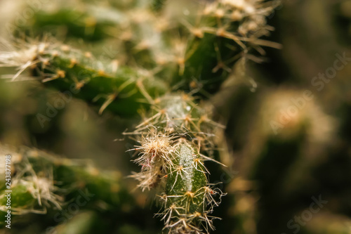Part of small cactus. Macro close up photography - 243877198