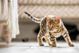 Fototapeta Koty - A Bengal kitten standing in a living room ready to pounce at something under a frilled sofa © Ian